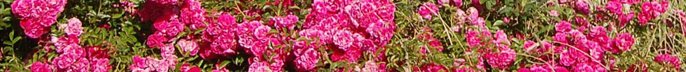edgartown-roses-copyright-barbara-nieman